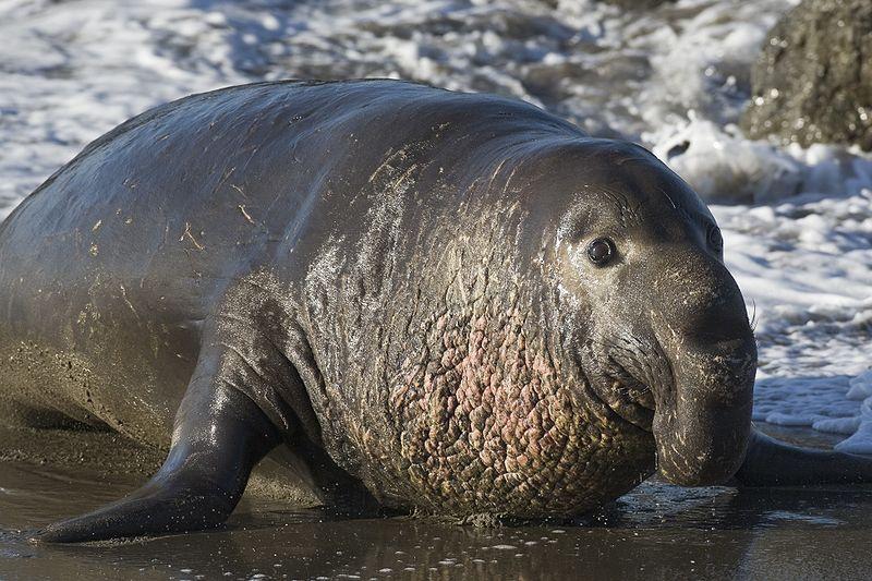 северный морской слон, ждун