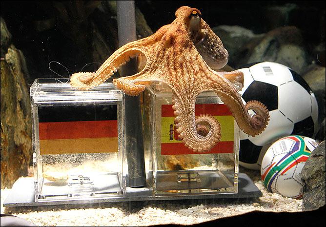 осьминог пауль, пауль, осьминог, осьминог предсказатель, осьминог оракул, осьминог пауль мем, мем осьминог пауль, осьминог пауль умер, евро 2008, чемпионат мира 2010, животные предсказатели, мемы футбол