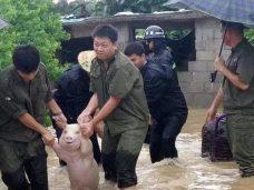 свинья мем, свинья наводнение, свинья наводнение мем, свинью ведут за руки мем, мем свинью ведут за руки, мем свинью ведут за лапы, мем спасенная свинья, мем свинью спасли, свинью спасли мем, мем свинья улыбается, свинья улыбается мем, откуда мем свинья улыбается, мем свинья в китае