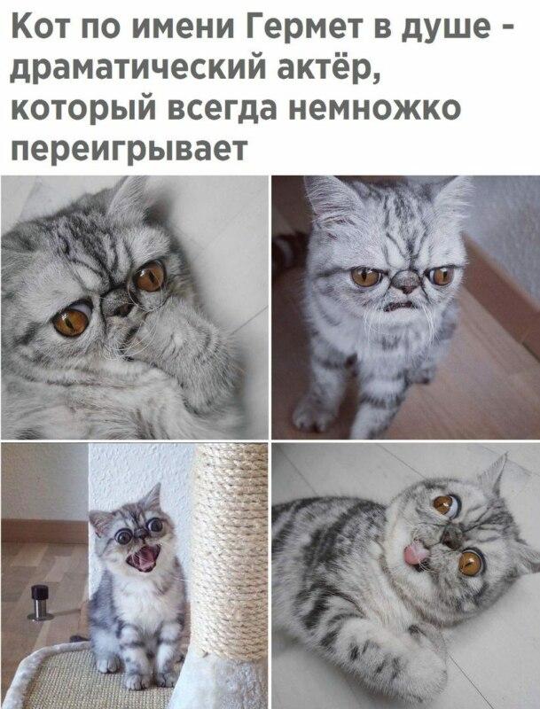 кот гермет