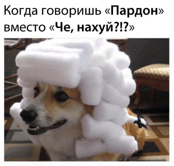 Founding Fathers,  Founding Fathers korgi, korgi waring wig, korgi in a wig, Собака в белом парике, собака в парике, корги в парике, корги в белом парике, корги в парике судьи, корги в старом парике, собака в старинном парике, когда сказал пардон вместо извините, мем с собакой, собака в парике мем
