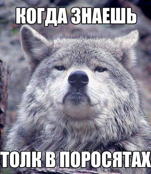Мем гордый волк, волк на все случаи жизни, волк поднял голову, мем с волком, картинка с волком, волк укусил за бочок, крутой волк мем, мем крутой волк, мем гордый волк, гордый волк мем, мемы с волком, волк мем, мем волк, мемы с волками, волк в очках мем, мем волк на все случаи жизни, волк на все случаи жизни мем, откуда мем с гордым волком, мем гордый волк происхождение