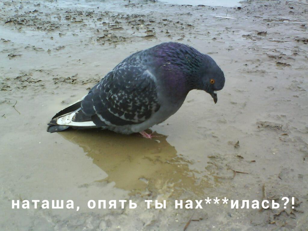 голубь наташа