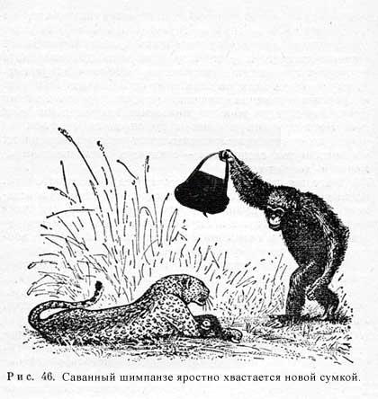 саванный шимпанзе