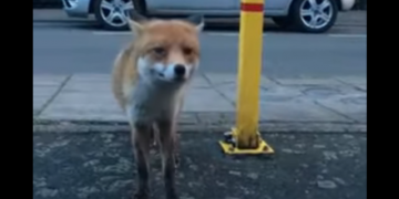 не гладь лису без кошелька