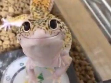 Вежливая ящерица