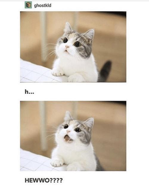 Hewwo Cat