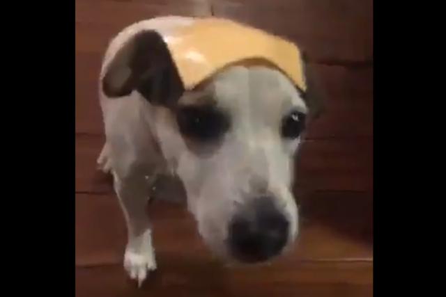 Сырные собаки