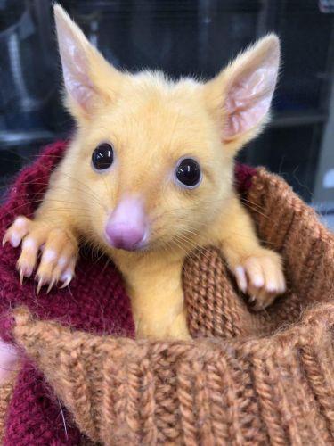 покемона Пикачу нашли в Австралии