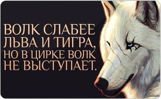 волк слабее льва и тигра но в цирке волк не выступает