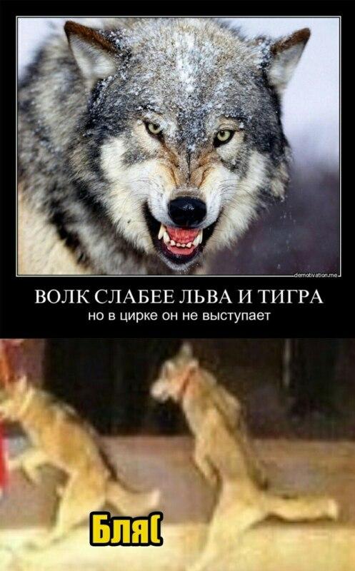 Мемы про волков с цитатами