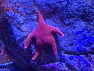 Морская звезда Патрик в реальной жизни