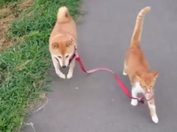 Кот выгулял собаку