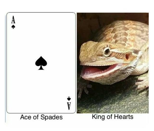 Butter lizard bearded dragon meme