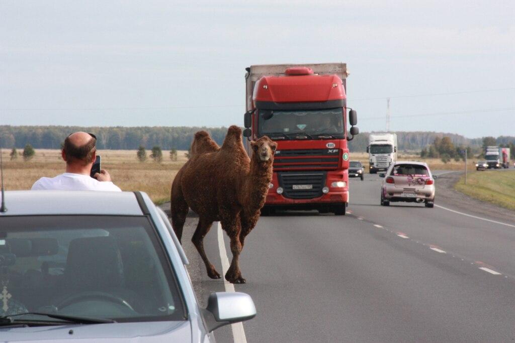 Верблюд попытался покинуть Омск