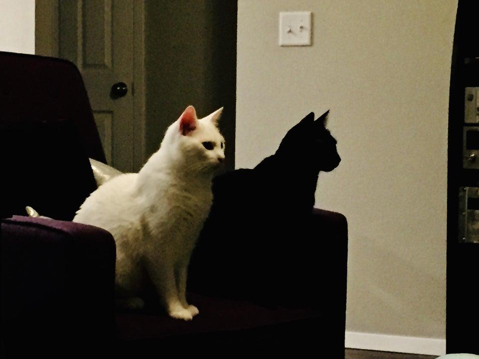 Черная кошка выглядит как тень белой кошки