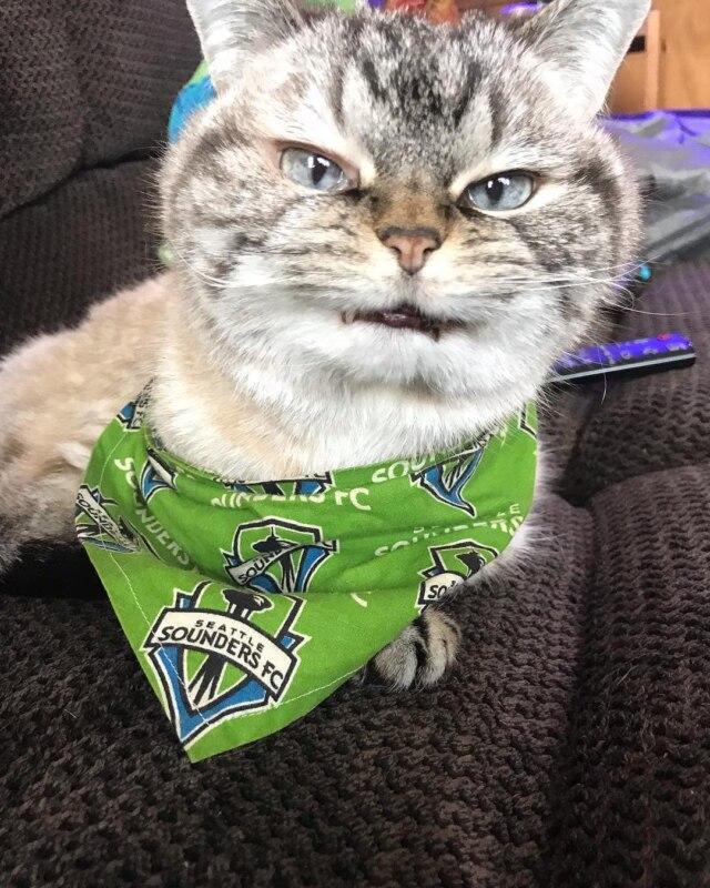 кот с клыками