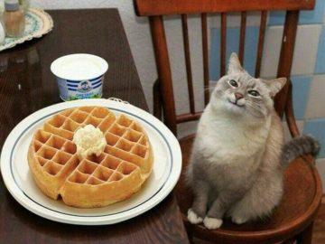 кот с вафлями