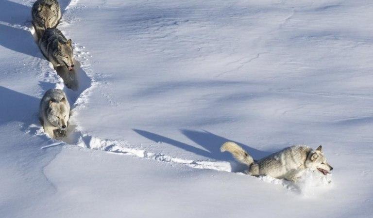 Шерстяной волчара из мема оказался волчицей