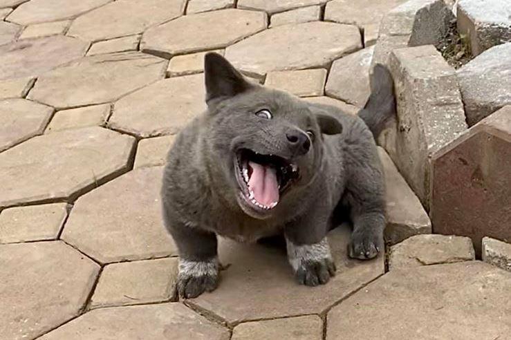 Серый щенок смешной