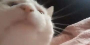 белый кот качает головой