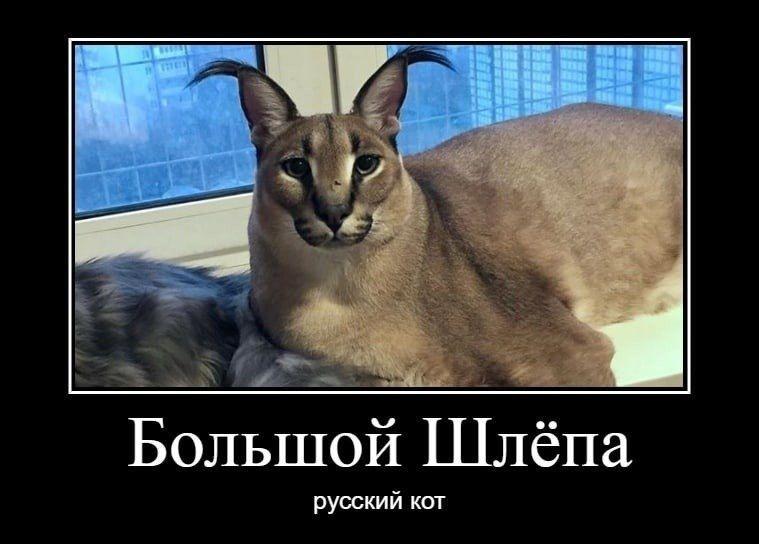 Большой шлёпа русский кот