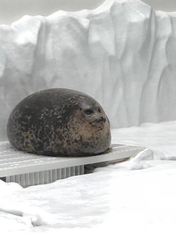 толстый круглый тюлень