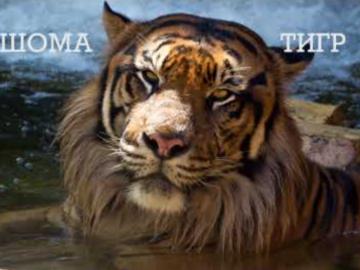 шома тигр вот как-то так