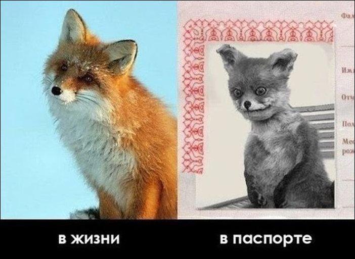 Упоротый лис, в жизни в паспорте